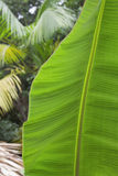 Detail of a banana leaf Stock Photography