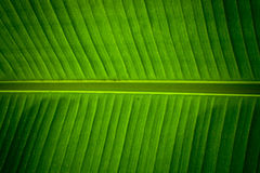 Detail of a banana leaf. Showing the central stem and veining forming a natural green symmetrical pattern and texture Royalty Free Stock Image
