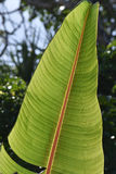 Detail of banana leaf structure Royalty Free Stock Photography