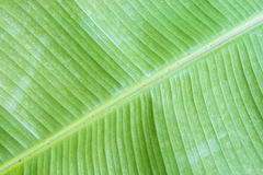 Detail of a banana leaf Royalty Free Stock Photography