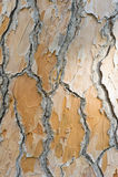 Detail of bark of Mediterranean pine Stock Photos