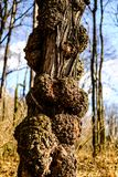 Detail of bark on the tree in forest Royalty Free Stock Images