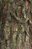 Detail of bark of a  Sequoia tree Royalty Free Stock Photography