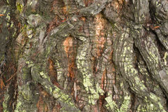 Detail of bark of a  Sequoia tree Stock Photography