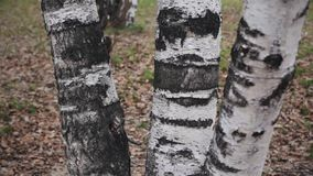 Detail of the bark of the trunk of a birch in a in grey spring day. Three trunks of birch. Closeup stock footage