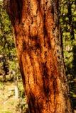 Detail, bark of young ponderosa pine. Growing on canyon rim at the Grand Canyon National Park, Arizona Stock Image