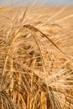 Detail of barley Stock Photography