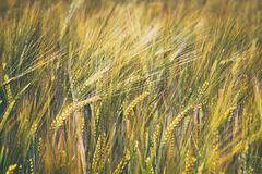 Detail of barley field. Young barley plants in the field. Blurred background. Utilization of agricultural land Stock Photo