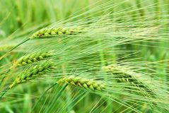 Detail of barley field in springtime Royalty Free Stock Photos