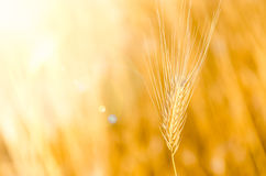 Detail of barley with nice bokeh background Royalty Free Stock Photos