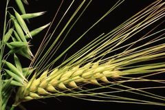 Detail of Barley and Oat Spikes Stock Image