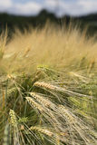 Detail of Barley Spike from the spring Field Stock Photography