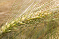 Detail of Barley Spike from the spring Field Stock Images