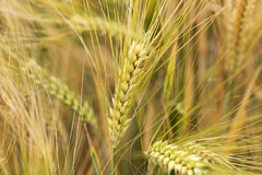 Detail of Barley Spike from the spring Field Stock Image