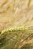 Detail of Barley Spike from the spring Field Royalty Free Stock Photos