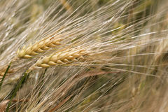 Detail of Barley Spike from the spring Field Stock Photo