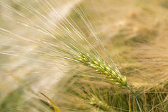 Detail of Barley Spike from the spring Field Royalty Free Stock Image