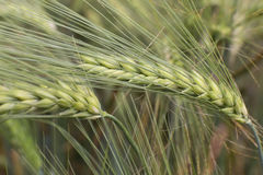 Detail of  Barley Spikes on the summer  Field Stock Photography