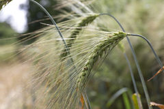 Detail of  Barley Spikes on the summer  Field Royalty Free Stock Photo