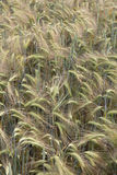 Detail of  Barley Spikes on the summer  Field Royalty Free Stock Image