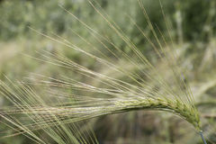 Detail of  Barley Spikes on the summer  Field Stock Photos
