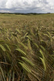 Detail of  Barley Spikes on the summer  Field Royalty Free Stock Photos