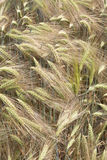 Detail of  Barley Spikes on the summer  Field Stock Images