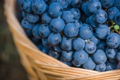 Detail of Basket with grapes. Harvest of blue grape. Food, burgundy. Autumn in the garden. Detail of a Basket with grapes. Big basket full of different wine stock image