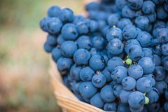 Detail of a basket with grapes. Harvest of blue grape. Food, burgundy. Autumn in the garden. Basket with grapes. Big basket full of different wine grapes as stock photo