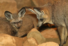 Bat Eared Foxes Royalty Free Stock Photo