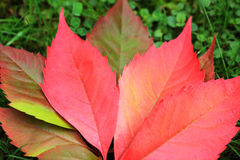 Detail of beautiful autumn colorful Leaves Royalty Free Stock Photos