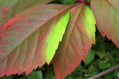 Detail of beautiful autumn colorful Leaves Stock Photo