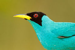 Detail of beautiful bird. Green Honeycreeper, Chlorophanes spiza, exotic tropic malachite green and blue bird form Costa Rica. Tan Royalty Free Stock Photography