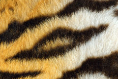 Detail of beautiful black stripes on tiger pelt. Real animal fur texture Royalty Free Stock Images