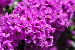 Detail of beautiful Bougainvillea flowers Royalty Free Stock Image