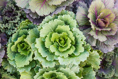 Detail of beautiful cabbage. Royalty Free Stock Photography