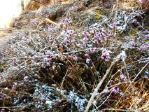 Detail of a beautiful frozen violet heather Royalty Free Stock Photography