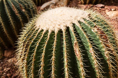 Detail of a beautiful golden barrel cactus echinocactus grusonii in botanical garden stock photography