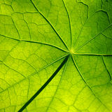 Detail of Beautiful Green Leaf Royalty Free Stock Photography