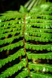 Detail of a beautiful leaf of Fern close-up Stock Photos