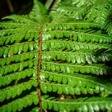Detail of a beautiful leaf of Fern close-up Stock Images