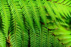 Detail of a beautiful leaf of Fern close-up Stock Image