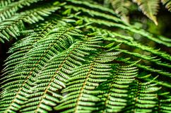 Detail of a beautiful leaf of Fern close-up Royalty Free Stock Photos