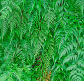 Detail of a beautiful leaf of Fern. Stock Image