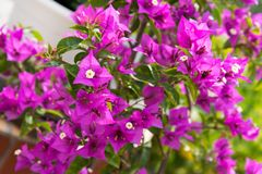 Detail of beautiful pink Bougainvillea flowers Royalty Free Stock Photo