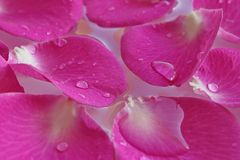 Detail of beautiful pink red rose petals with drops Royalty Free Stock Photos