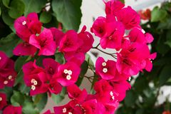 Detail of beautiful red Bougainvillea flowers Stock Photo