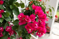 Detail of beautiful red Bougainvillea flowers Royalty Free Stock Photo