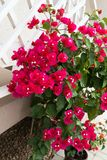 Detail of beautiful red Bougainvillea flowers Royalty Free Stock Image
