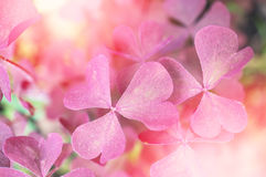 Detail beautiful trefoil, pink plants. Sunny. Toned. Horizontal background. Royalty Free Stock Photography